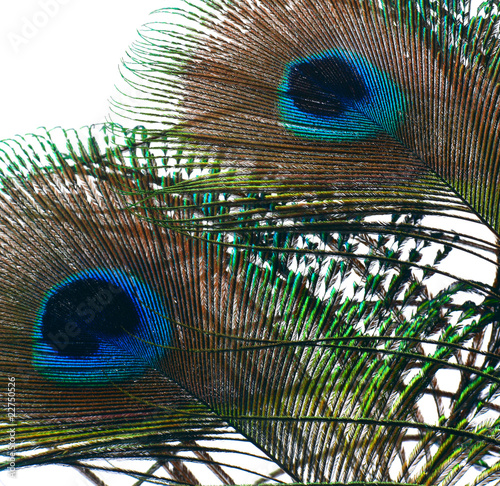 a peacocks feathers  on white