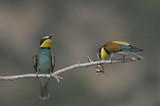 Bee-eater, Merops apiaster - the marriage period poster