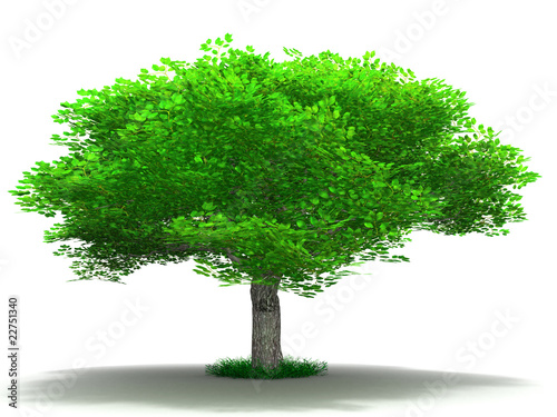 single tree on a white background in a summer season