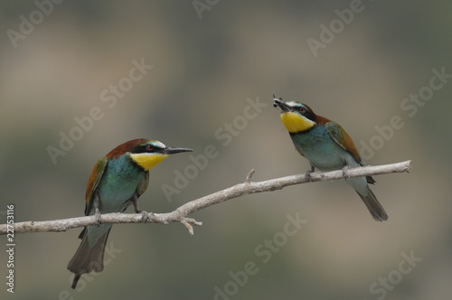 Bee-eater, Merops apiaster - the marriage period