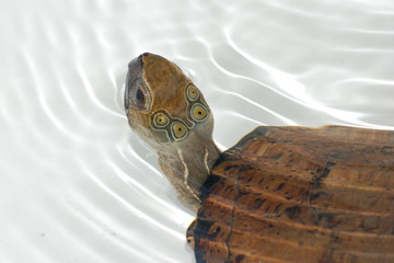 Four-eyed turtle
