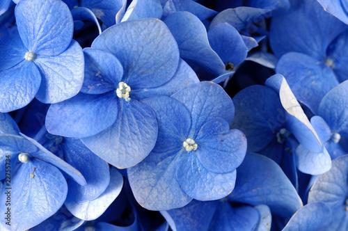 Blue hydrangea background