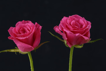 two beautiful roses on black