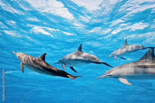Papiers peints Dauphin Dolphins in the sea