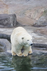 animal bear in Moscow Zoo