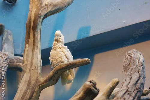 white cockatoo parrot in Moscow Zoo