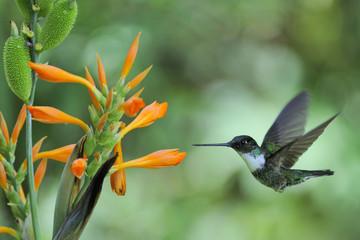 """Coeligena torquata"", ""Inca hummingbird"""
