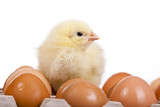 Baby chick on  eggs in egg carton