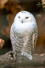 White owl standing on a branch