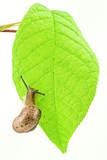 Snail slug on a green bright  leaf poster