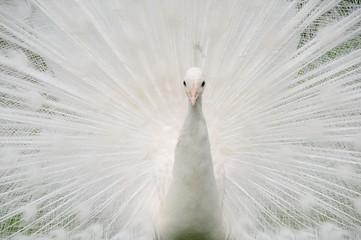 White Queen 02