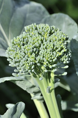 Organic Greenhouse Broccoli