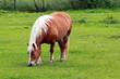 Cavalli al pascolo II