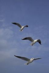 3羽のカモメの飛ぶのが綺麗