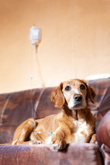 recovering dog on bed taking infusion