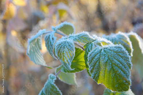 Leaf raspberry cane in hoarfrost.