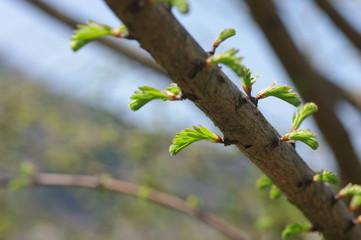 春のメタセコイア