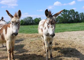 Couple d'ânes