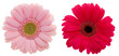 two daisy flowers with exact hand made clipping path
