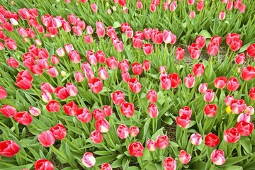 Red tulips in the fields from the Netherlands