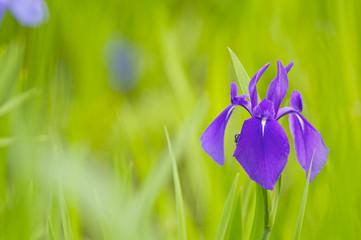 紫のカキツバタ