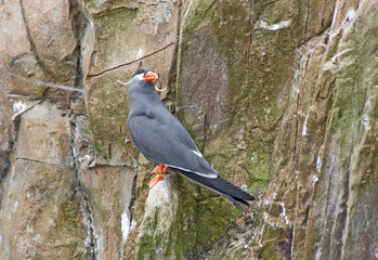 Inca Tern on a rock ledge