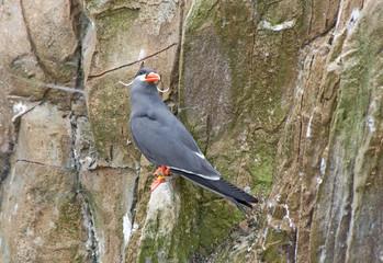 Inca Tern on a rock ledge