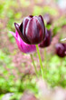 purple Dutch tulip