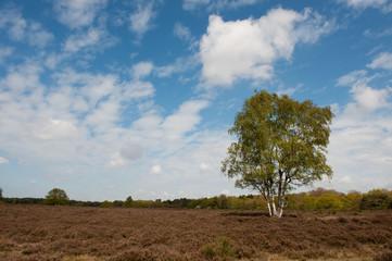 Birch tree in heather landscape