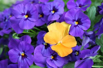 Stiefmütterchen orange und lila