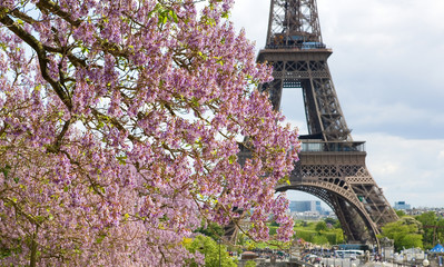 Spring in Paris. Blossoming jacarandas and the Eiffel Tower