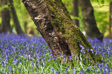 Bluebells in a spring forest