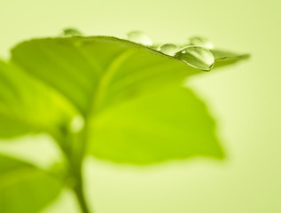 Fresh green leaf of basil with water drops. Soft focus.