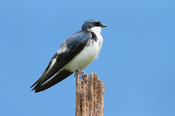 Tree Swallow on a stump