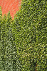 Ivy and Brick Wall