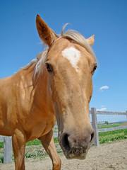 Funny fisheye view of a palomino horse