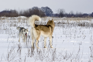 Two siberian husky play among themselves