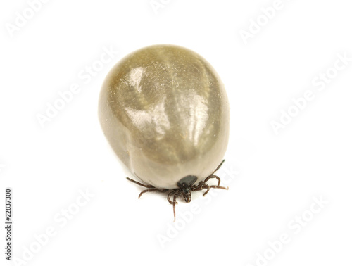 Tick isolated on white