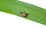 Beetle chafer on grass-blade 1 poster