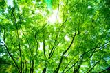 Fototapety 新緑の森