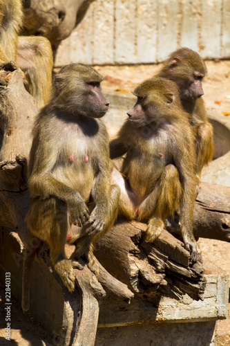 Baboon (Papio hamadryas ursinus),mother with her calf