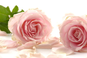 Pair of pink rose with petals