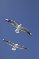 縦位置で白い羽の2羽のカモメが飛ぶ
