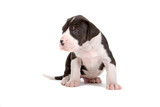 first steps for a cute great dane puppy poster