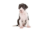 front view of a cute great dane puupy poster