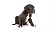 cute great dane puppy isolated on white background poster