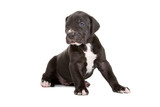 beautiful great dane puppy isolated on a white background poster
