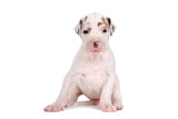front view of a great dane puppy looking at camera poster