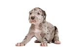 front fiew of a sitting blue Merle great dane puppy poster