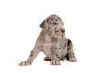 great dane puppy (blue merle) poster